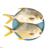 翔泰 冷冻二去金鲳鱼 1kg/袋 2条 BAP认证(去鳃去内脏)海鲜水产85元 85.00