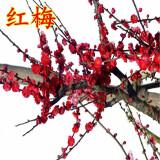 半径风景 长寿冠海棠红梅 3年带土球发货 10.8元(需用券)