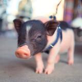 超可爱泰国迷你小香猪迷你猪纯种宠物猪活体长不大的运输包活 公猪一只 688元