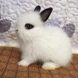 宠物活体:贵卡 凤眼猫猫兔 1只 168元